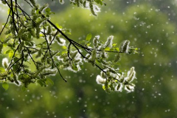 Grüner Ast mit fliegenden Pollen